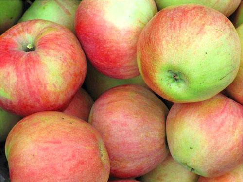 Урожай яблони Медуницы