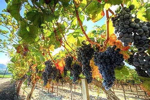 Виноград в подмосковье выращивание 509