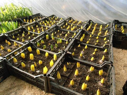 Гиацинты в домашних условиях - как выращивать, уход, размножение, выгонка, видео