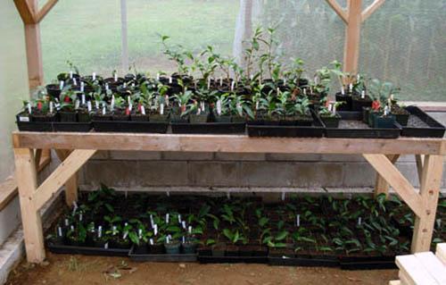 Выращивание черенков жимолости