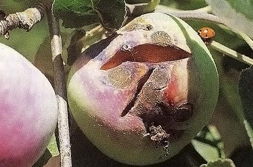 Яблоки поражены плодовой гнилью