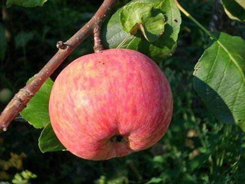 Яблоко сорта Конфетное