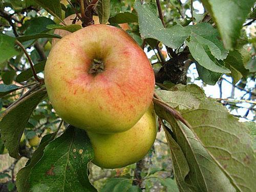 Яблуні для ленінградської області сорти відгуки
