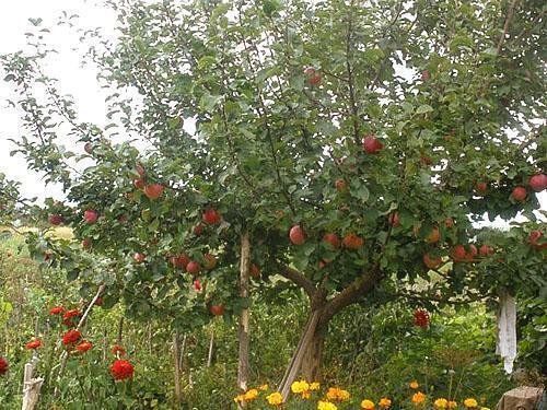 Яблоня на садовом участке