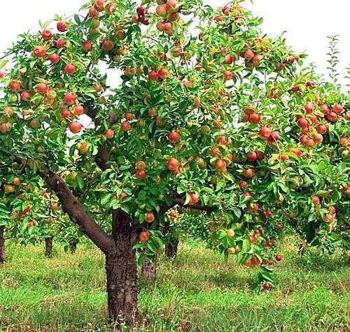 Яблоня сорта Жигулевское