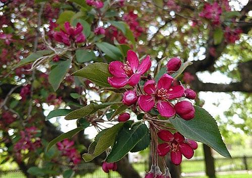 яблони декоративные сорта фото