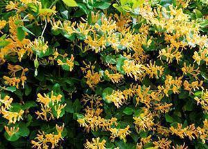 Жимолость каприфоль ароматная лиана