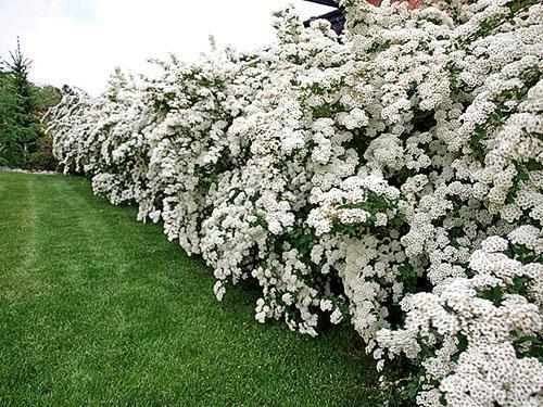 Живая цветущая изгородь