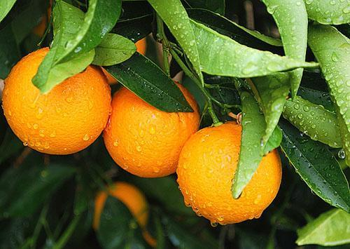 Апельсины - витамины круглый год