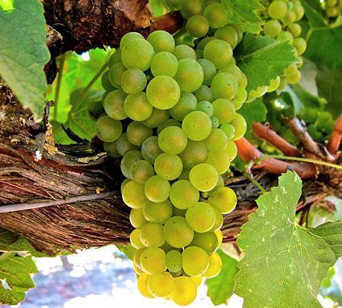 Белый виноград - результат селекционной работы