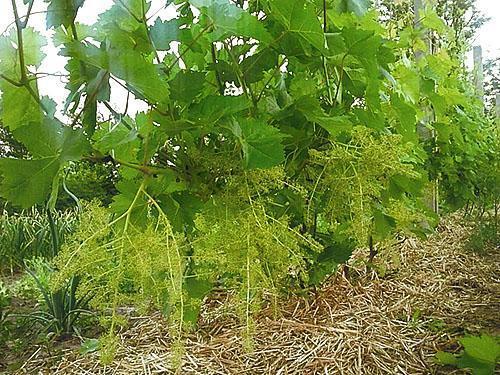 Цветет виноград Велес