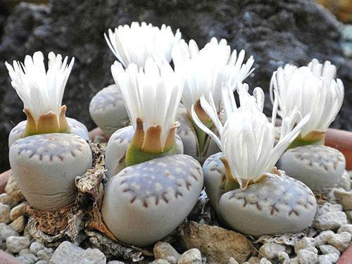 Цветут литопсы