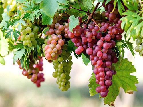 Десертный виноград раннего срока созревания