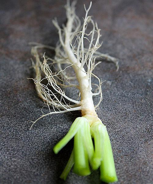 Для посадки в горшок используют молодой корень растения