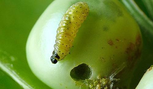 Гусеница гороховой плодожорки