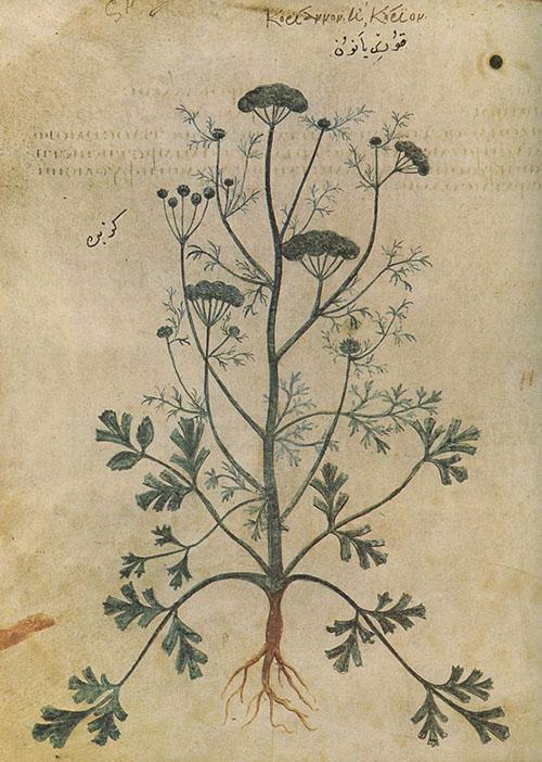 Изображение кинзы в книге Диоскорида