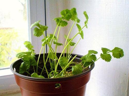 Выращивание кинзы на балконе 79