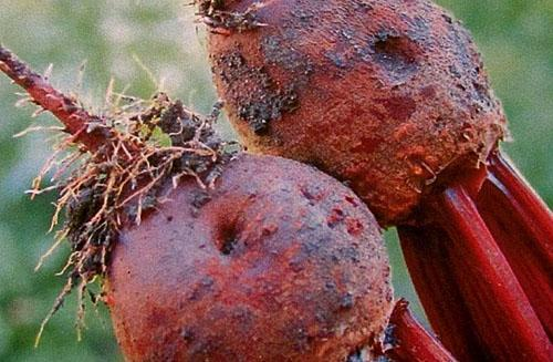 Корнеплоды, пораженные грибком