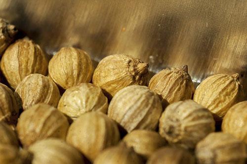 Коробочки кинзы с семенами