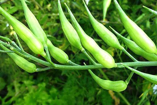Коробочки с семенами редиса