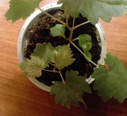 Вырастить виноград из косточек в домашних условиях 183
