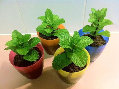 Молодые растения мяты