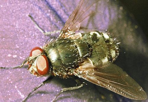 Морковная муха один из вредителей редьки