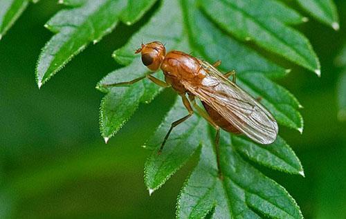 Морковная муха повреждает листву петрушки