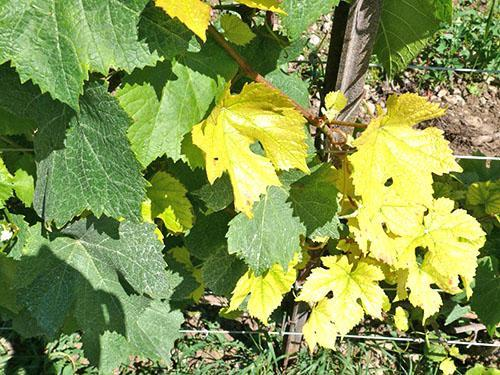 На кусте винограда карбонатный хлороз