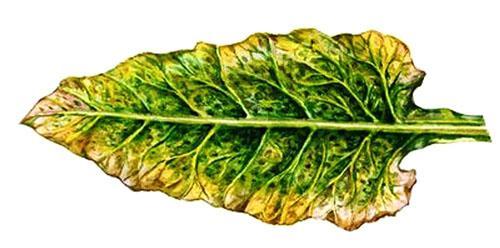 Болезни свеклы - аскохитоз, фото, описание, лечение красных и желтых листьев видео
