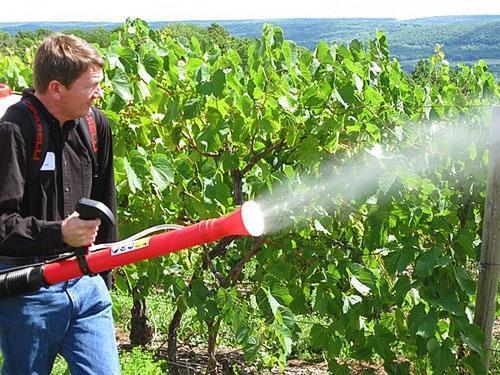 Обработка винограда против оидиума