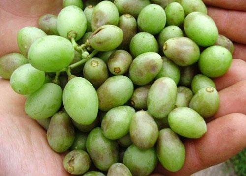 Оидиум на созревающих ягодах
