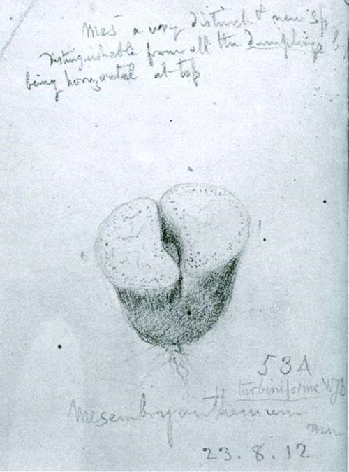 Первое изображение литопса ботаником
