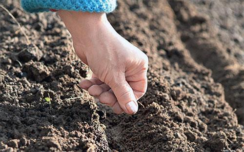 Как сажать сеять укроп летом, чтобы быстро взошел, видео