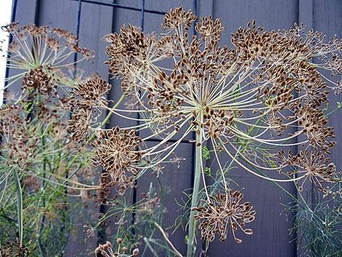 Прием семян укропа проводится под наблюдением врача