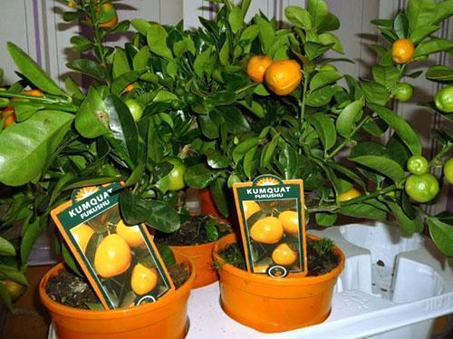 Болезни мандариновое дерево уход в домашних условиях - Sgyms.Ru