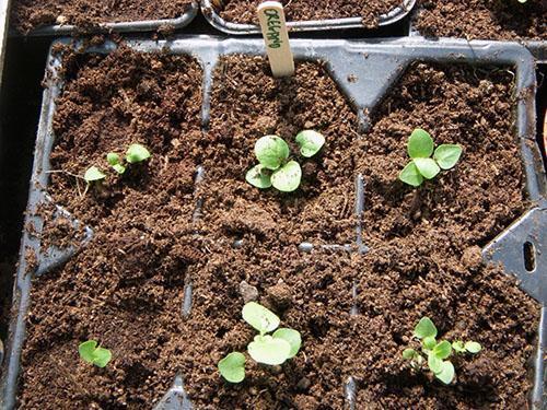 Как сажать мяту в домашних условиях из семян 5