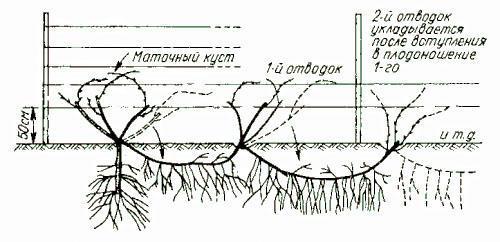 Размножение куста винограда вдоль шпалеры