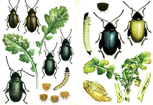 Разновидности крестоцветных блошек и их личинок