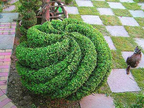 Самшит в саду