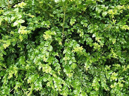 фото дерево самшит