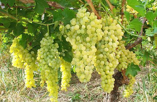 Соблюдение агротехники выращивания винограда