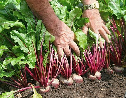 Собрать хороший урожай можно только на правильно подготовленной грядке