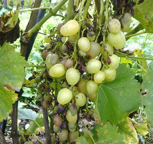 Сохнут и муммифицируются ягоды винограда