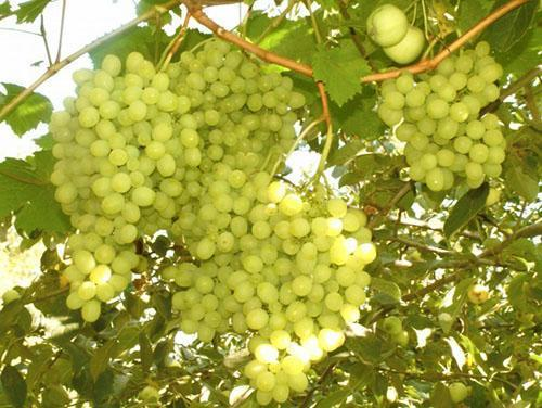 Созрел виноград на Урале