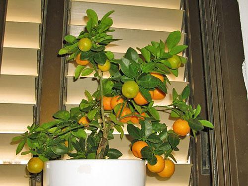 Спеют мандарины дома