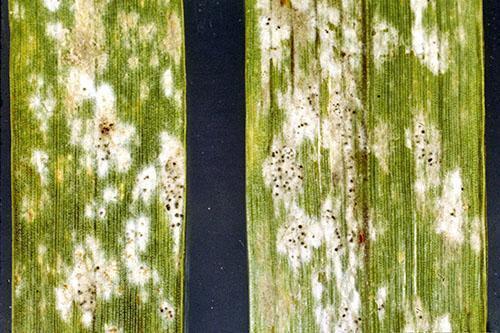 Так выглядит мучнистая роса на укропе под микроскопом