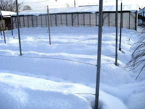 Участок винограда под снегом