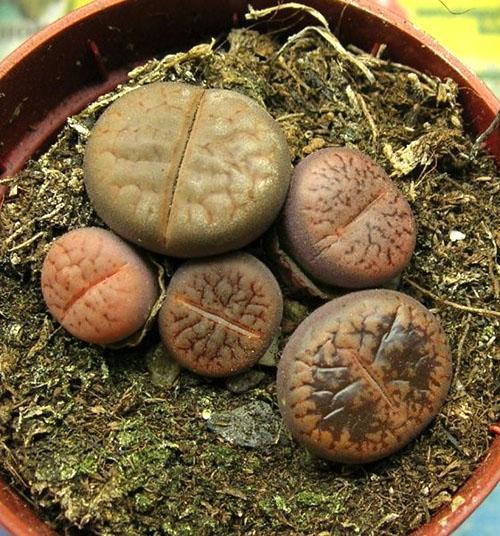 Литопсы живые камни  выращиваем дома  WikiBotanikaru