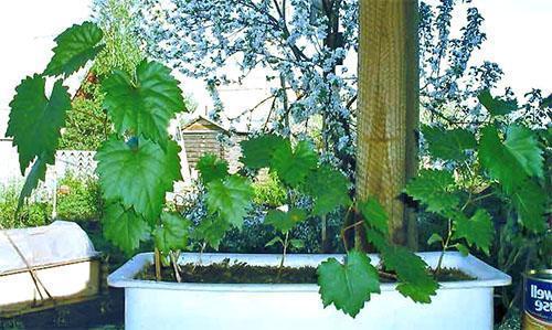 Уход за виноградом из косточки